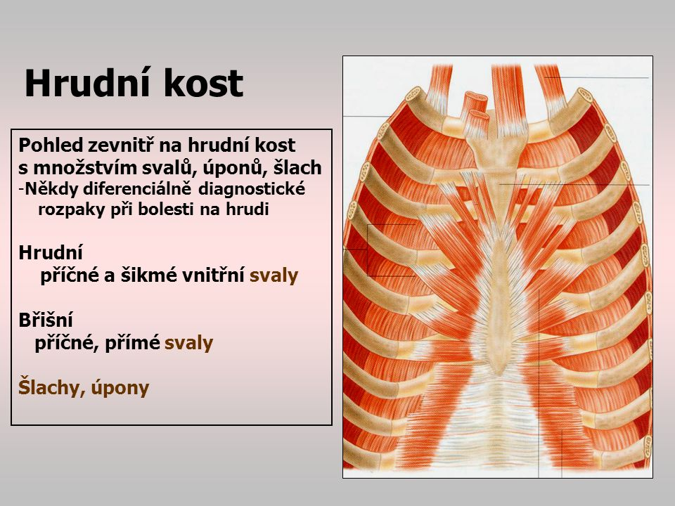 Hrudní kost Pohled zevnitř na hrudní kost
