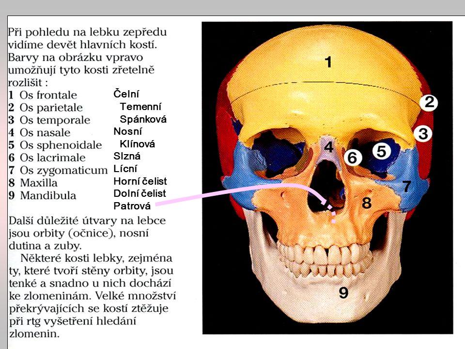 Lebka Čelní Temenní Spánková Nosní Klínová Slzná Lícní Horní čelist