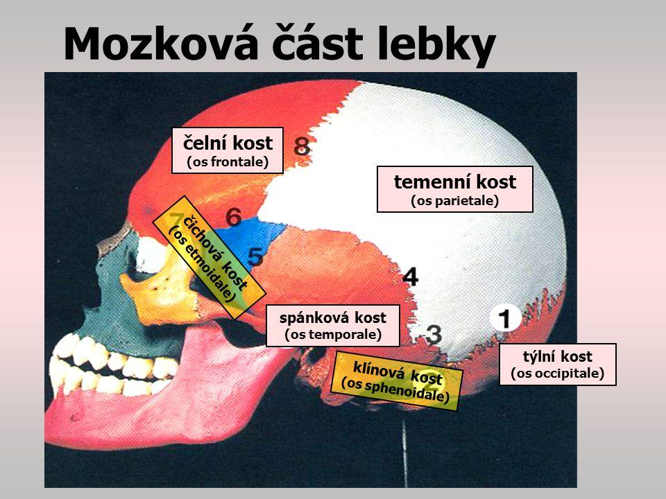Mozková část lebky čelní kost temenní kost čichová kost spánková kost