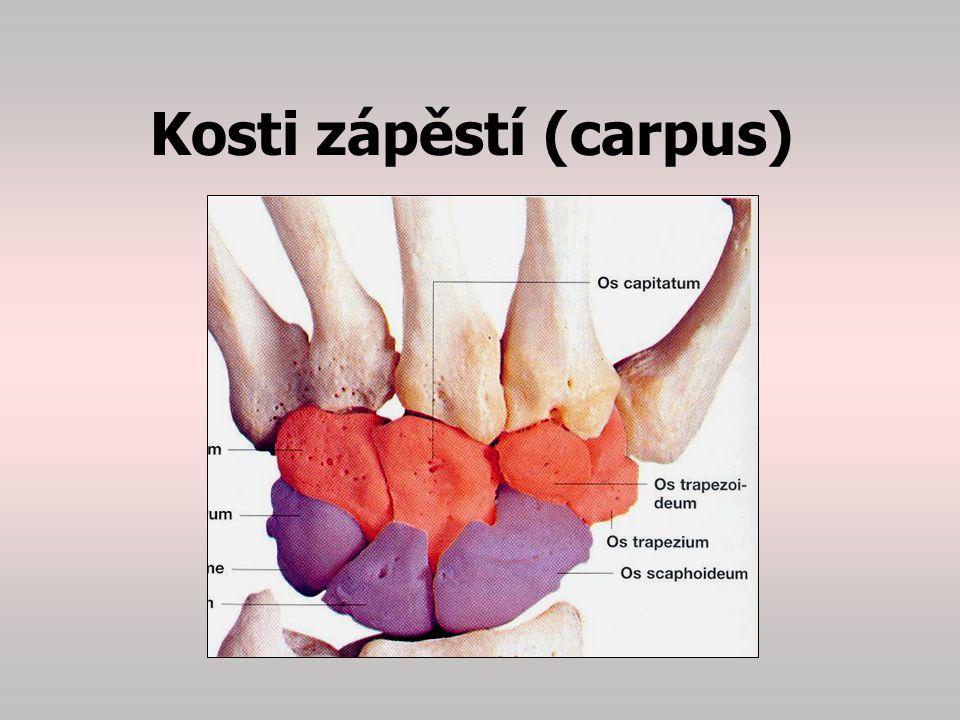 Kosti zápěstí (carpus)