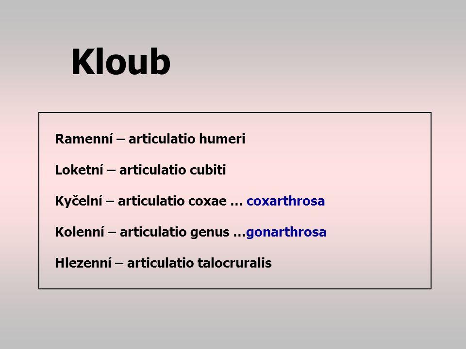 Kloub Ramenní – articulatio humeri Loketní – articulatio cubiti