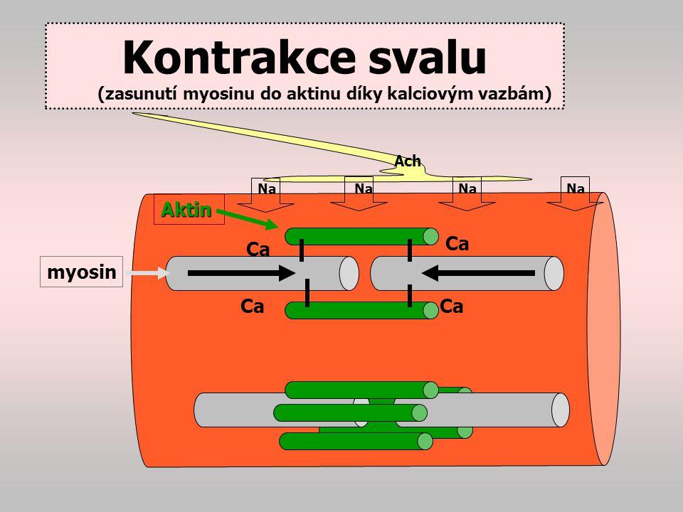 Kontrakce svalu (zasunutí myosinu do aktinu díky kalciovým vazbám)