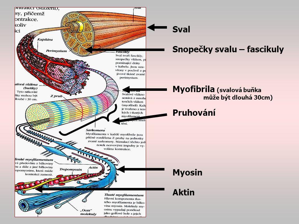 Snopečky svalu – fascikuly