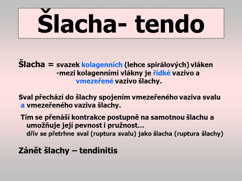 Šlacha- tendo Šlacha = svazek kolagenních (lehce spirálových) vláken