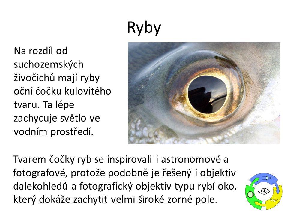 Ryby Na rozdíl od suchozemských živočichů mají ryby oční čočku kulovitého tvaru. Ta lépe zachycuje světlo ve vodním prostředí.