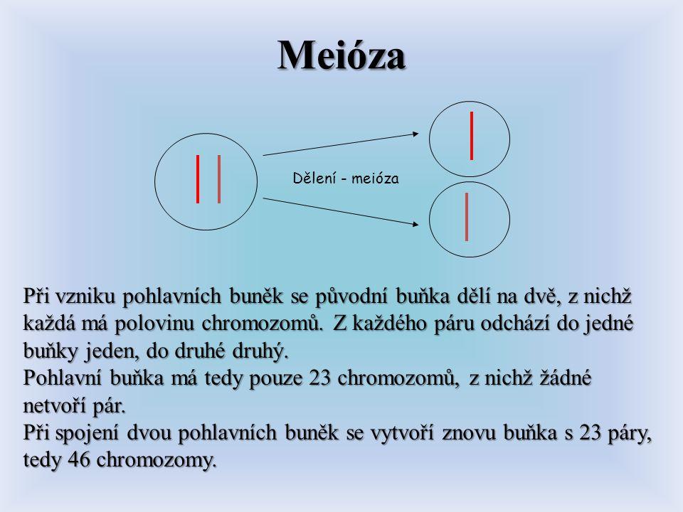 Meióza Dělení - meióza.
