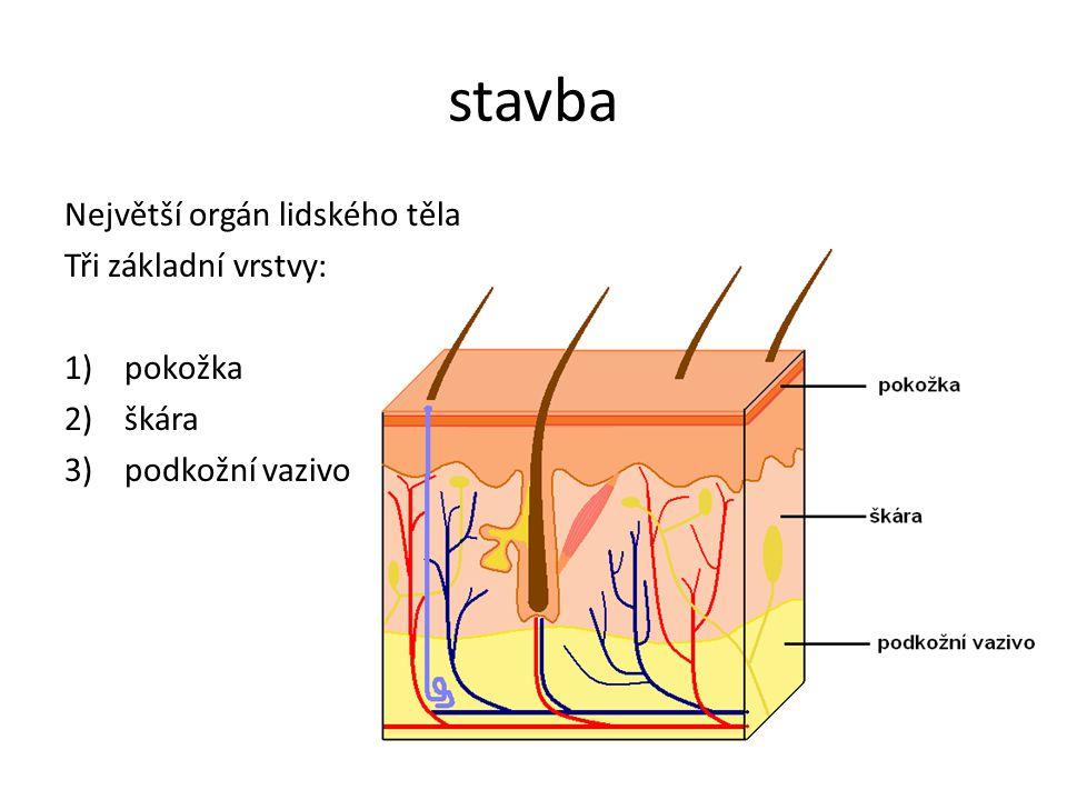 stavba Největší orgán lidského těla Tři základní vrstvy: pokožka škára
