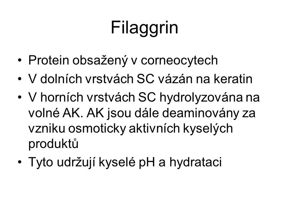 Filaggrin Protein obsažený v corneocytech