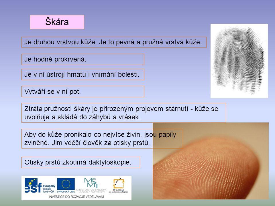 Škára Je druhou vrstvou kůže. Je to pevná a pružná vrstva kůže.