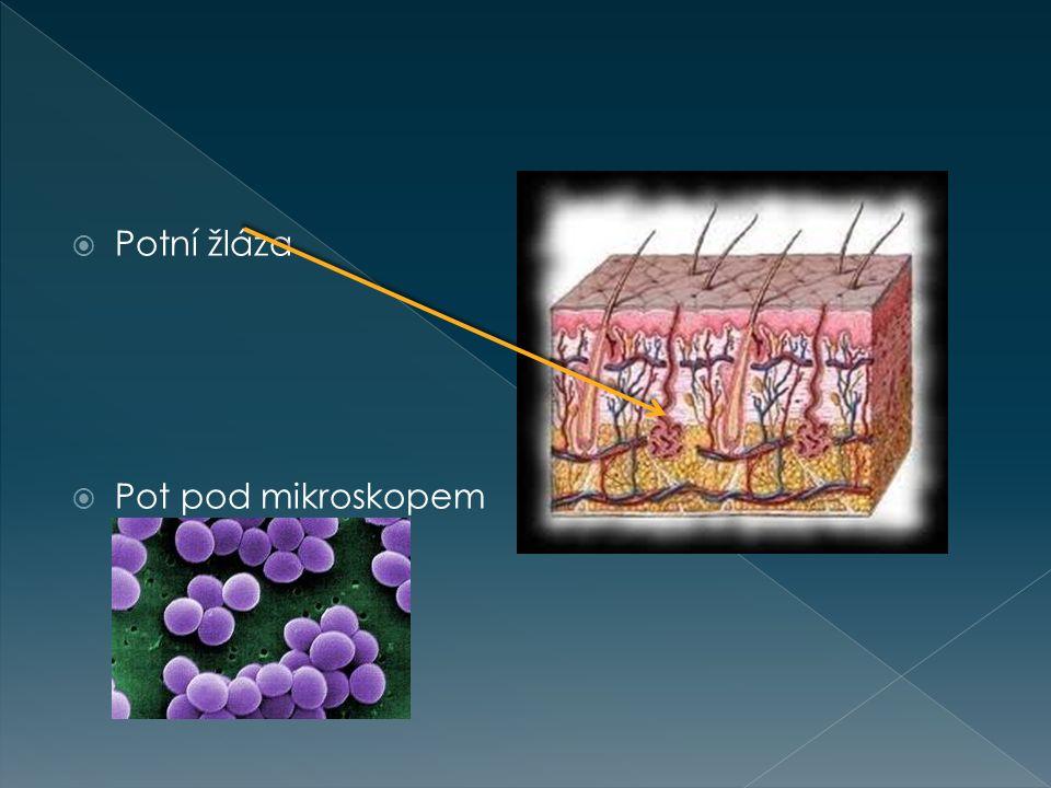 Potní žláza Pot pod mikroskopem