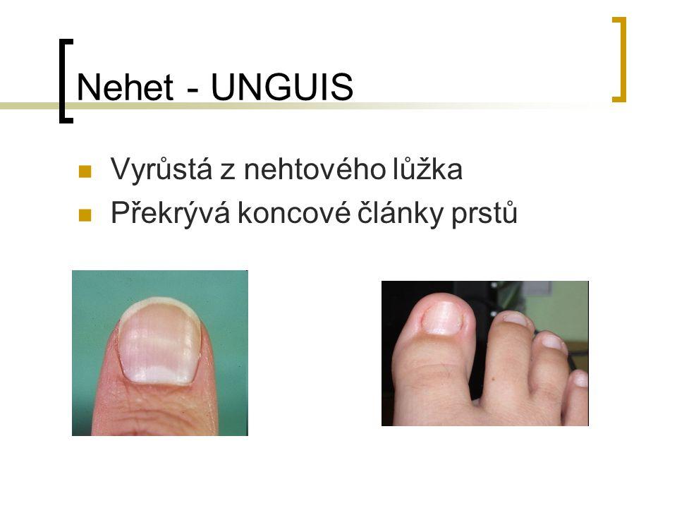 Nehet - UNGUIS Vyrůstá z nehtového lůžka Překrývá koncové články prstů