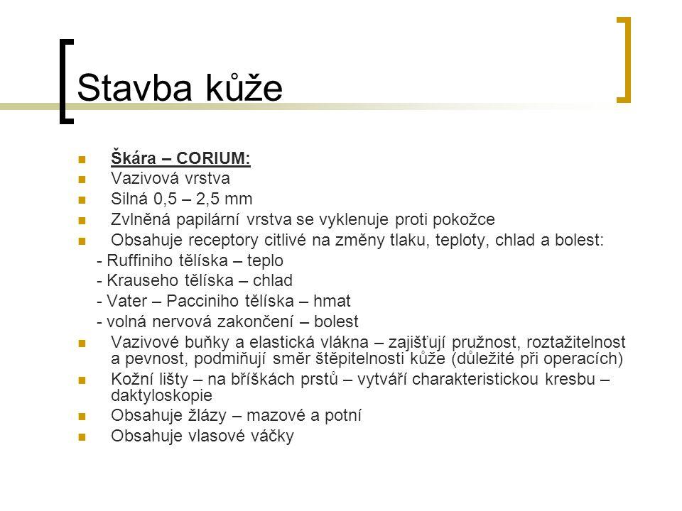 Stavba kůže Škára – CORIUM: Vazivová vrstva Silná 0,5 – 2,5 mm