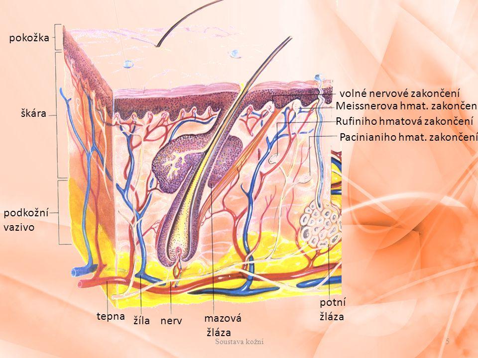 volné nervové zakončení Meissnerova hmat. zakončení škára