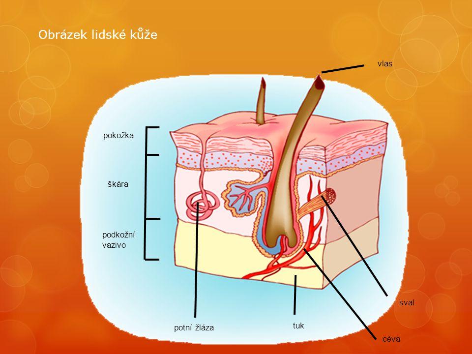 Obrázek lidské kůže vlas pokožka škára podkožní vazivo sval tuk