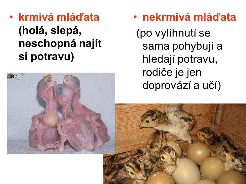 krmivá mláďata (holá, slepá, neschopná najít si potravu)
