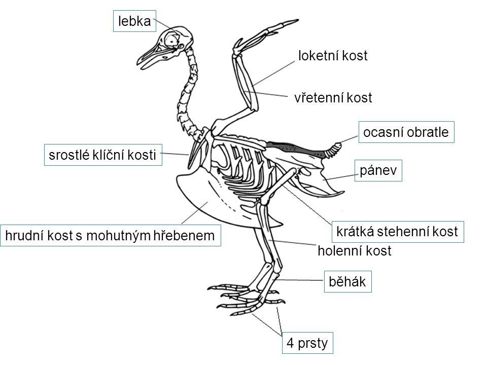 lebka loketní kost. vřetenní kost. ocasní obratle. srostlé klíční kosti. pánev. krátká stehenní kost.