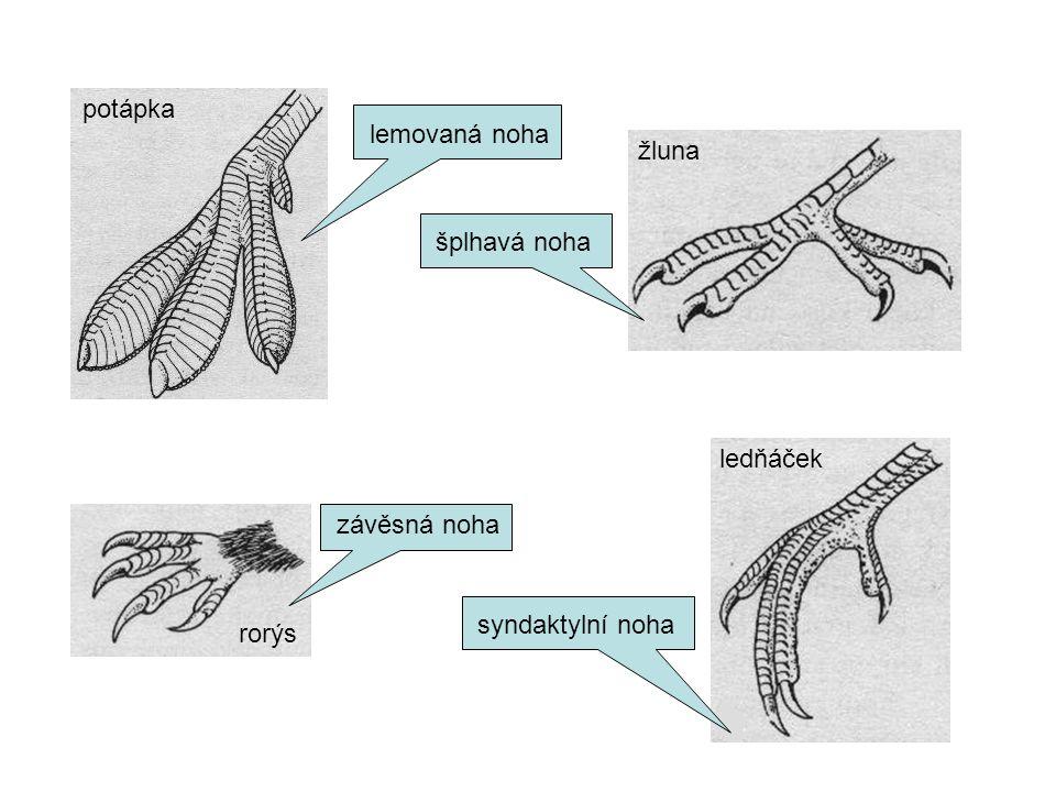 potápka lemovaná noha žluna šplhavá noha ledňáček závěsná noha syndaktylní noha rorýs