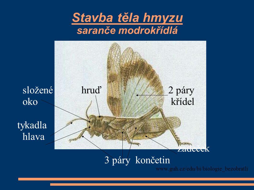 Stavba těla hmyzu saranče modrokřídlá