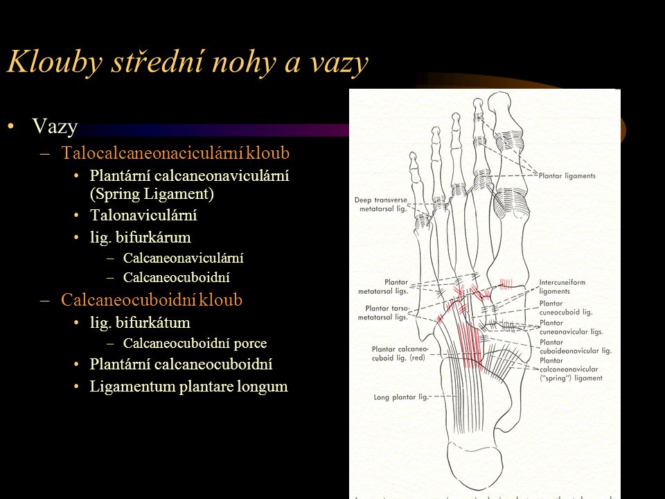Klouby střední nohy a vazy