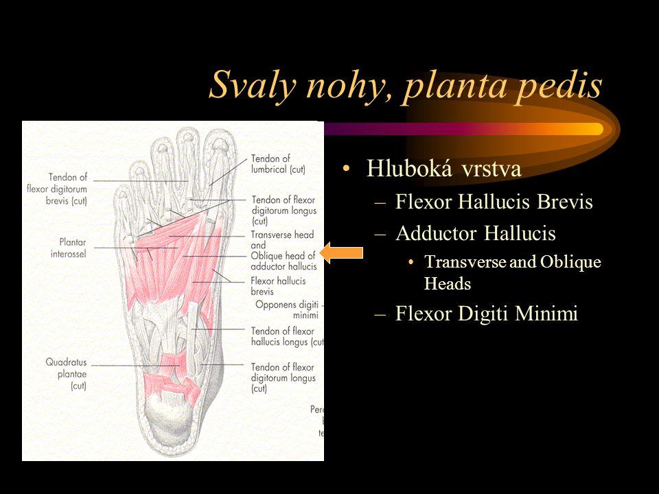 Svaly nohy, planta pedis