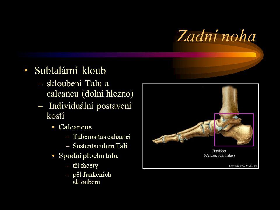Zadní noha Subtalární kloub skloubení Talu a calcaneu (dolní hlezno)