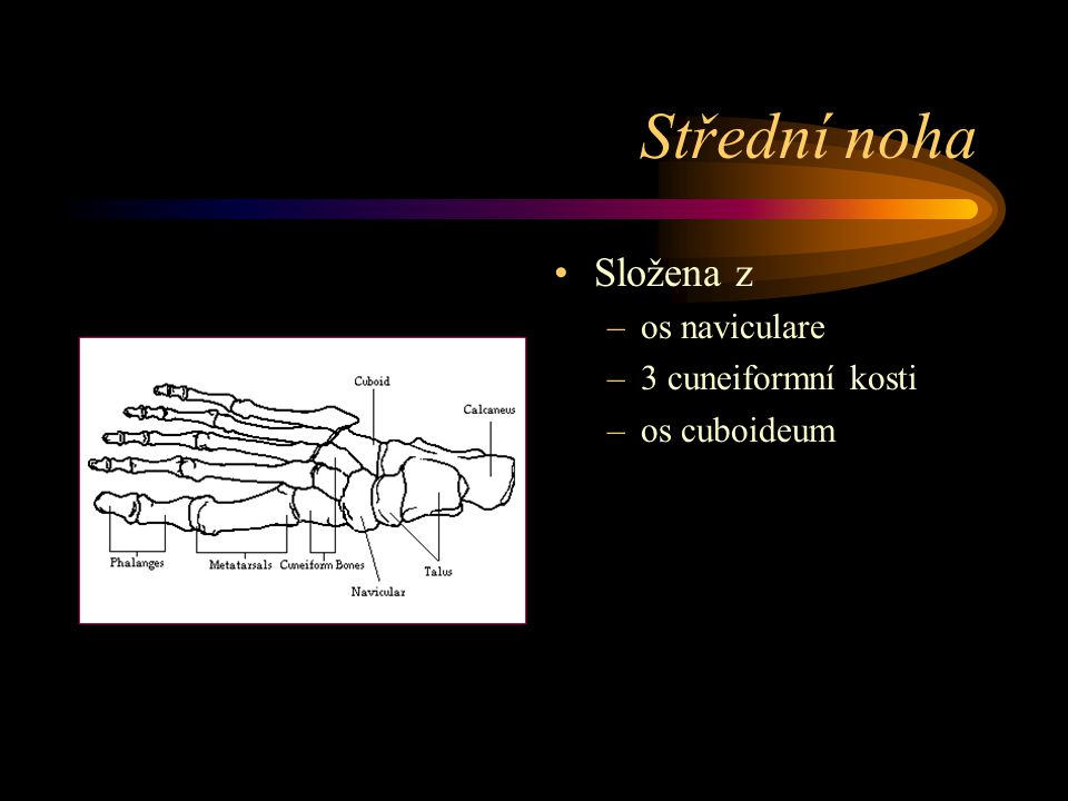 Střední noha Složena z os naviculare 3 cuneiformní kosti os cuboideum