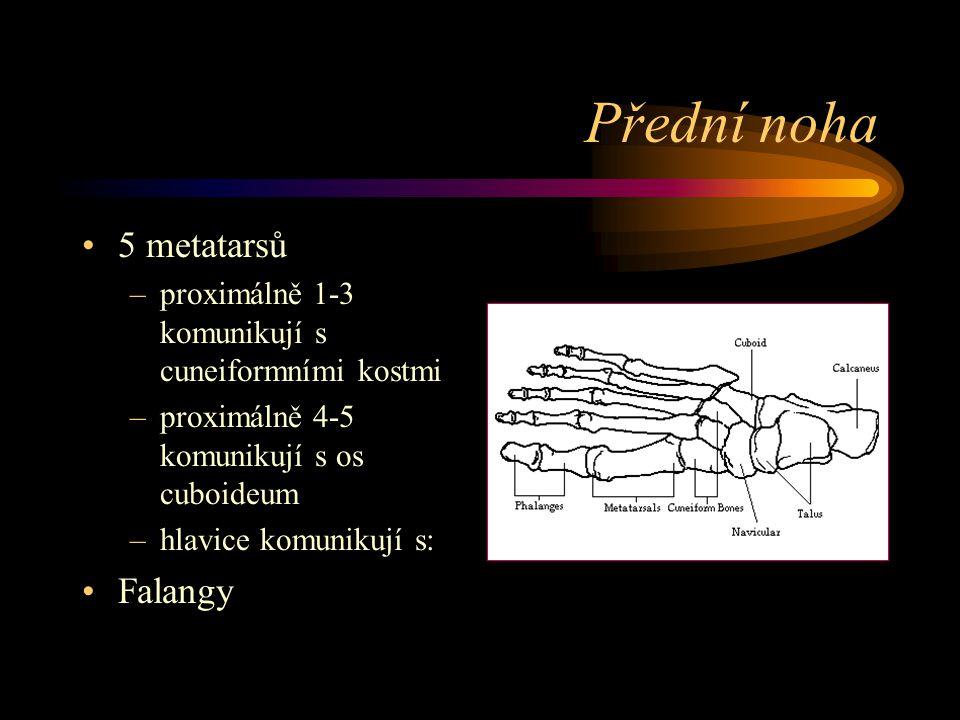 Přední noha 5 metatarsů Falangy