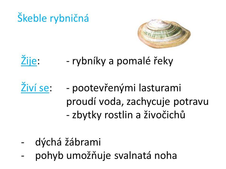 Škeble rybničná Žije: - rybníky a pomalé řeky. Živí se: - pootevřenými lasturami proudí voda, zachycuje potravu.