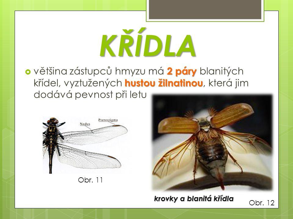 KŘÍDLA většina zástupců hmyzu má 2 páry blanitých křídel, vyztužených hustou žilnatinou, která jim dodává pevnost při letu.