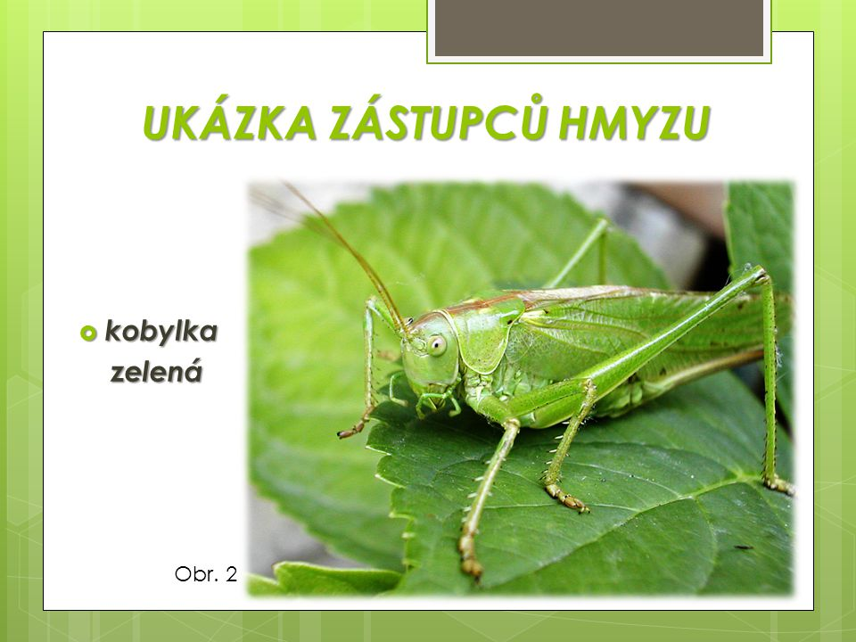 UKÁZKA ZÁSTUPCŮ HMYZU kobylka zelená Obr. 2