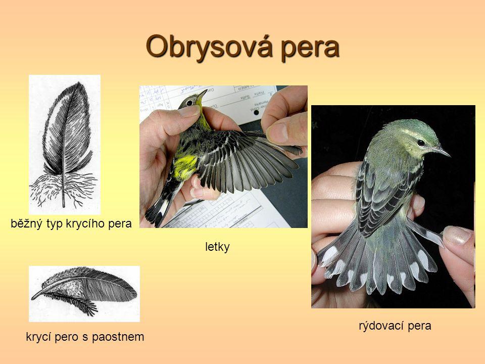 Obrysová pera běžný typ krycího pera letky rýdovací pera