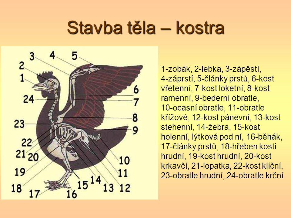 Stavba těla – kostra 1-zobák, 2-lebka, 3-zápěstí,