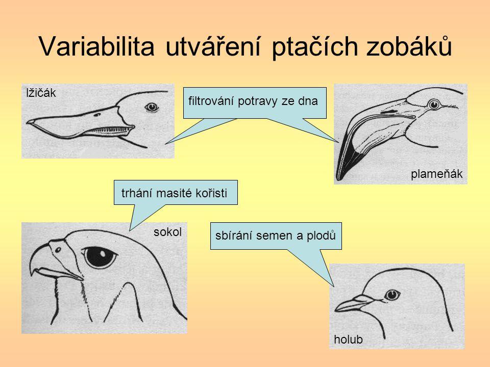 Variabilita utváření ptačích zobáků