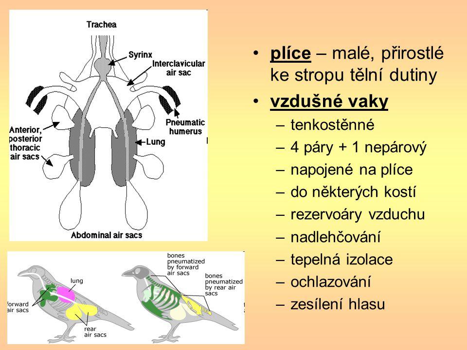 plíce – malé, přirostlé ke stropu tělní dutiny vzdušné vaky