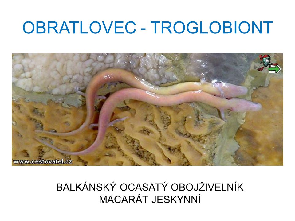 OBRATLOVEC - TROGLOBIONT