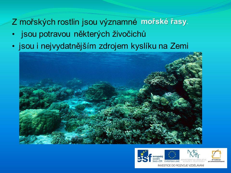 Z mořských rostlin jsou významné jsou potravou některých živočichů