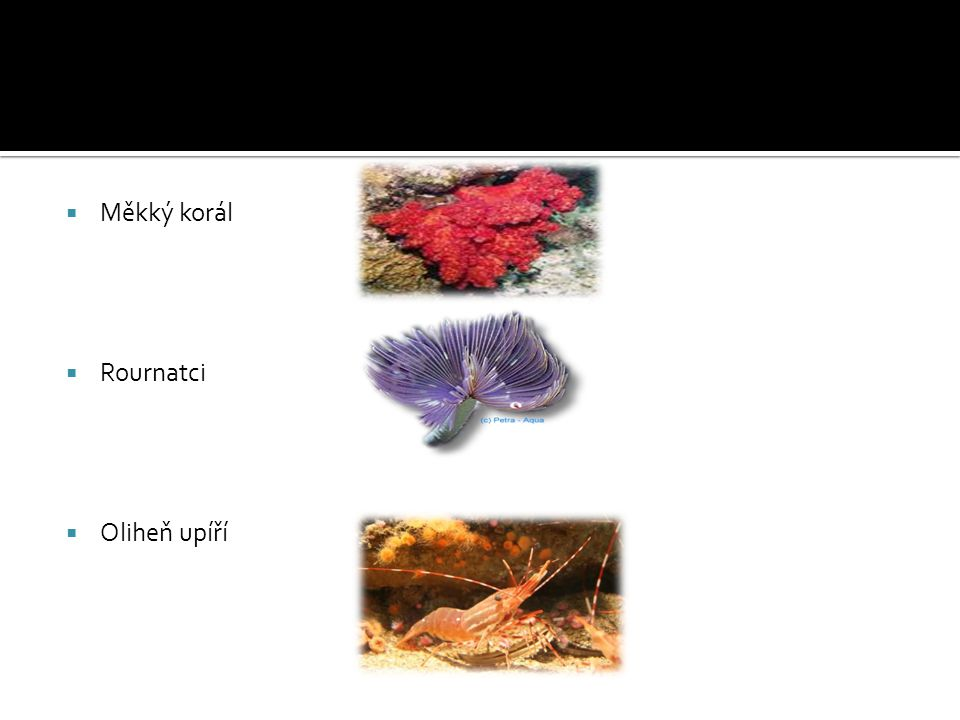 Měkký korál Rournatci Oliheň upíří