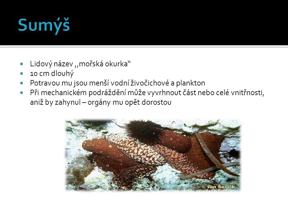 Sumýš Lidový název ,,mořská okurka 10 cm dlouhý