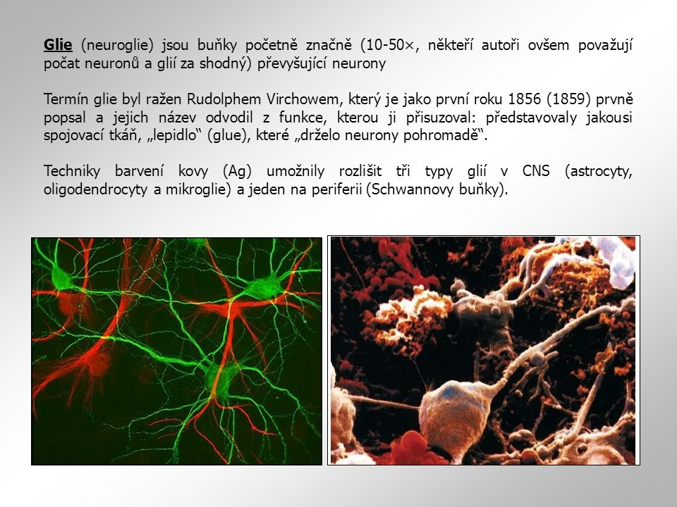 Glie (neuroglie) jsou buňky početně značně (10-50×, někteří autoři ovšem považují počat neuronů a glií za shodný) převyšující neurony