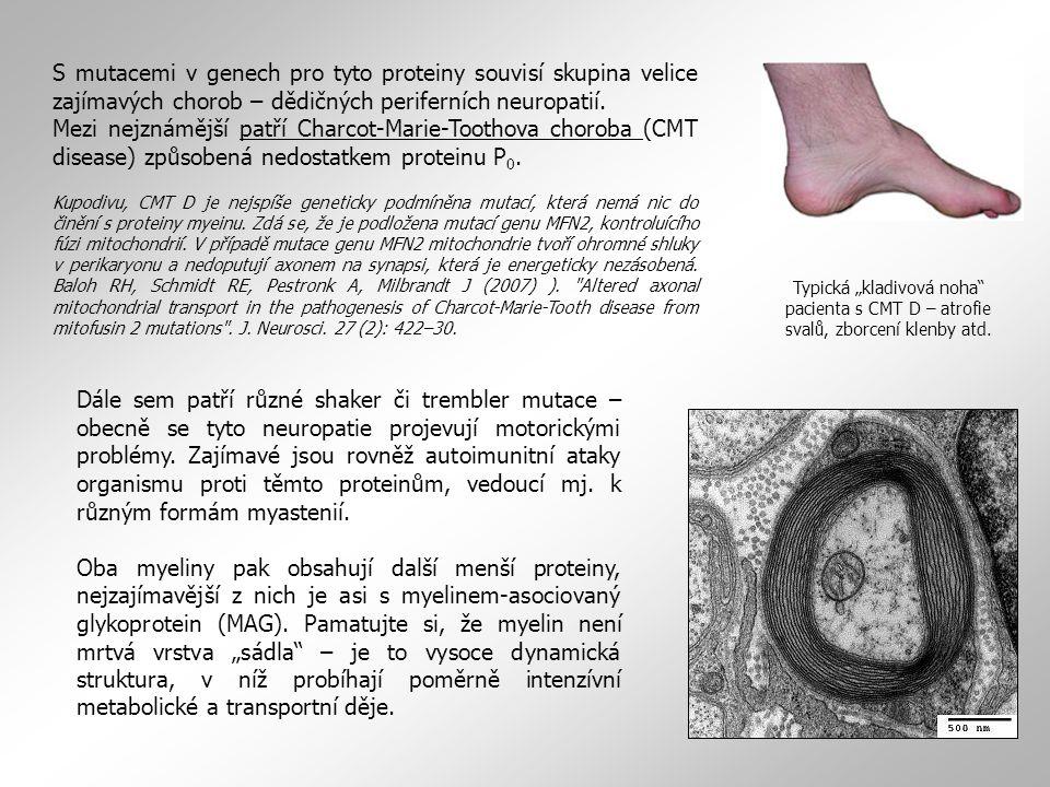 S mutacemi v genech pro tyto proteiny souvisí skupina velice zajímavých chorob – dědičných periferních neuropatií.