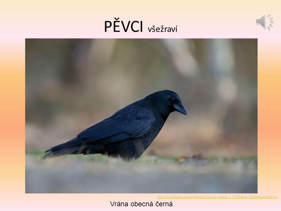 PĚVCI všežraví Vrána obecná černá