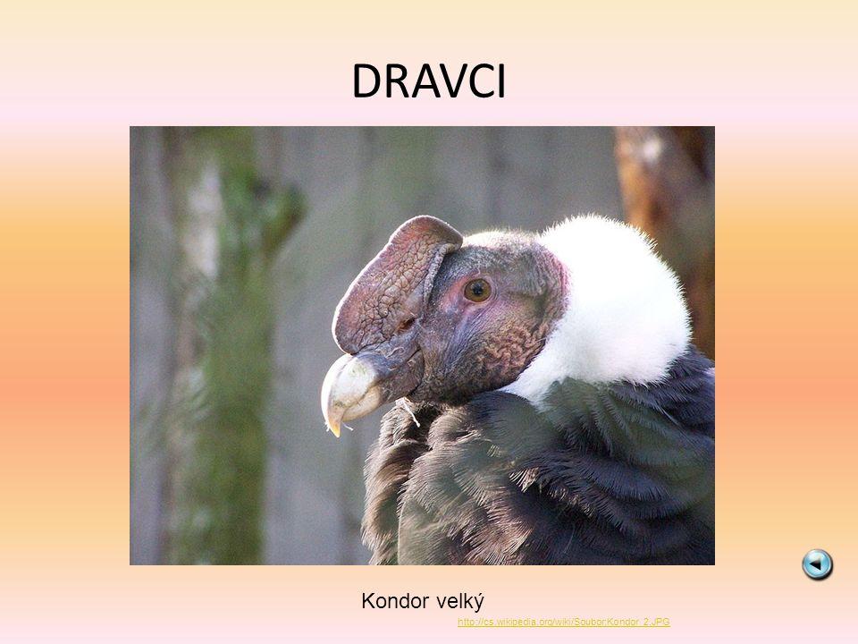 DRAVCI Kondor velký http://cs.wikipedia.org/wiki/Soubor:Kondor_2.JPG