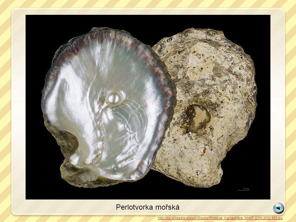 Perlotvorka mořská http://cs.wikipedia.org/wiki/Soubor:Pinctada_margaritifera_MHNT.CON.2002.893.jpg