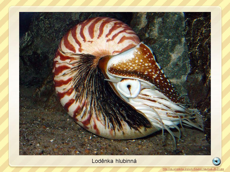 Loděnka hlubinná http://cs.wikipedia.org/wiki/Soubor:Nautilus-JB-01.jpg