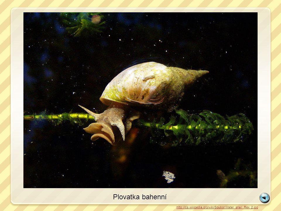 Plovatka bahenní http://cs.wikipedia.org/wiki/Soubor:Water_snail_Rex_2.jpg