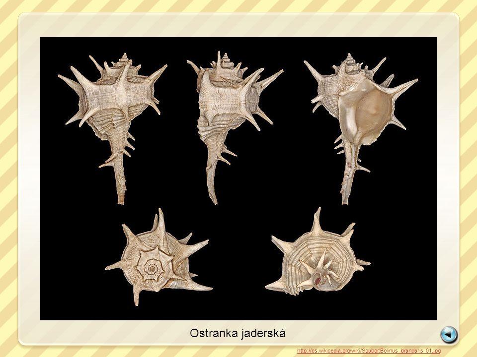 Ostranka jaderská http://cs.wikipedia.org/wiki/Soubor:Bolinus_brandaris_01.jpg