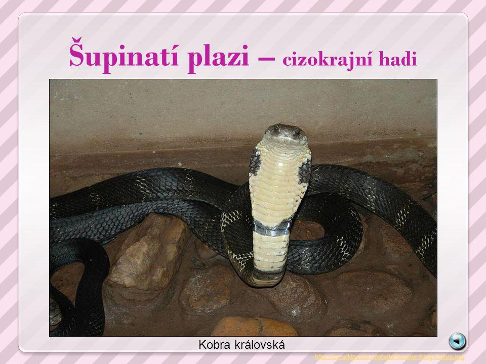 Šupinatí plazi – cizokrajní hadi