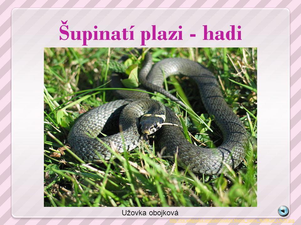 Šupinatí plazi - hadi Užovka obojková