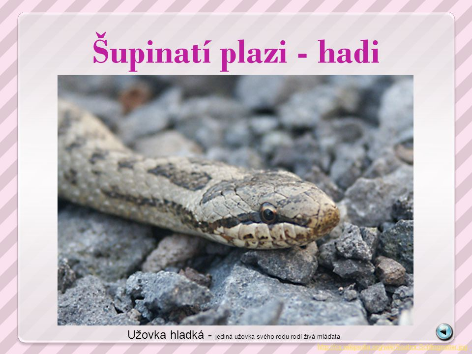 Šupinatí plazi - hadi Užovka hladká - jediná užovka svého rodu rodí živá mláďata.