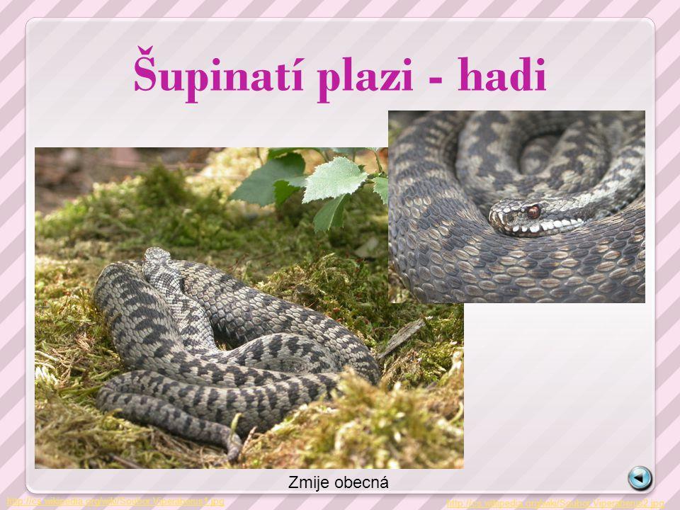 Šupinatí plazi - hadi Zmije obecná